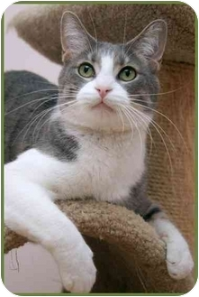 Domestic Shorthair Cat for adoption in Sterling Heights, Michigan - Riley - ADOPTED!