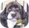 Poodle (Miniature)/Tibetan Terrier Mix Dog for adoption in Phoenix, Arizona - Penguin