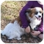 Photo 2 - Papillon Mix Dog for adoption in Fort Worth, Texas - BAILEY