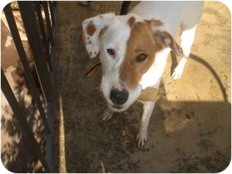 Labrador Retriever/Spaniel (Unknown Type) Mix Dog for adoption in Irvine, California - Nova