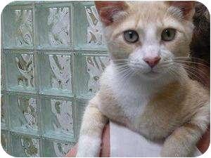 Domestic Shorthair Kitten for adoption in Chicago, Illinois - Skywalker