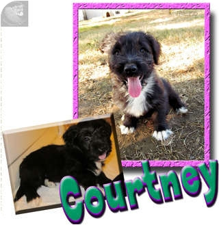 Havanese/Jack Russell Terrier Mix Puppy for adoption in Dallas/Ft. Worth, Texas - Courtney