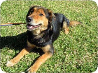 Australian Shepherd Mix Dog for adoption in El Cajon, California - Abbie