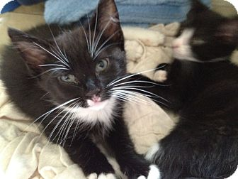Domestic Mediumhair Kitten for adoption in East Hanover, New Jersey - Taylor