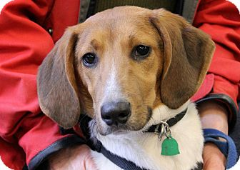 Foxhound Puppy for adoption in Buffalo, New York - Mikey: 8 months