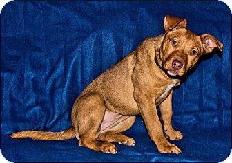 Staffordshire Bull Terrier Mix Dog for adoption in Colville, Washington - Lucy