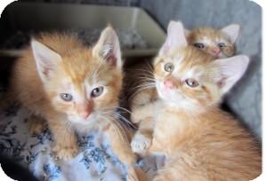 Domestic Shorthair Kitten for adoption in Sidney, Ohio - Margaret's Kittens