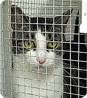 Domestic Mediumhair Cat for adoption in Huntington, New York - Prince