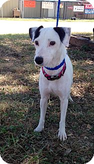 Jack Russell Terrier Dog for adoption in San Antonio, Texas - Trixie in San Antonio