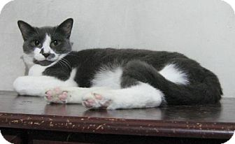 Domestic Shorthair Cat for adoption in New York, New York - Persimmon