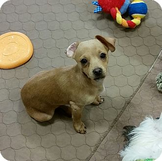 Dachshund/Chihuahua Mix Puppy for adoption in Phoenix, Arizona - Ralphie - chiweenie pup