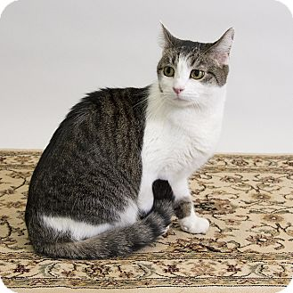 Domestic Shorthair Cat for adoption in Wilmington, Delaware - Scruffy