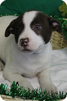 Labrador Retriever/Retriever (Unknown Type) Mix Puppy for adoption in Waldorf, Maryland - Pez