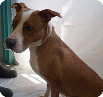 Pit Bull Terrier/Labrador Retriever Mix Dog for adoption in Newark, New Jersey - Tyra