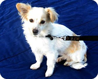 Papillon/Chihuahua Mix Dog for adoption in Downey, California - Nemo