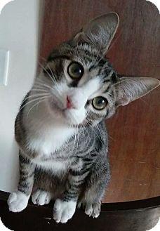 Domestic Shorthair Cat for adoption in Covington, Kentucky - Ashley