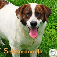 Labrador Retriever/Hound (Unknown Type) Mix Dog for adoption in Washburn, Missouri - Snickerdoodle