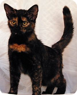Domestic Shorthair Cat for adoption in Newland, North Carolina - Sparkle