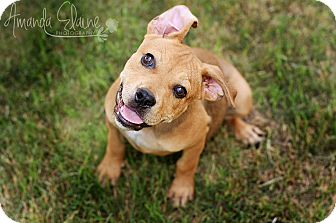Shepherd (Unknown Type)/Pit Bull Terrier Mix Puppy for adoption in Pilot Point, Texas - BOWSER