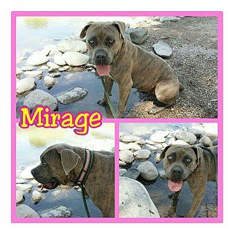 American Bulldog Mix Dog for adoption in Mesa, Arizona - Mirage