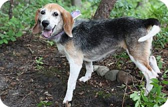 Beagle Mix Dog for adoption in Voorhees, New Jersey - Sweet Pea