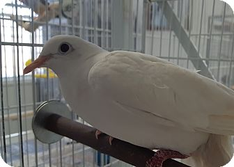 Dove for adoption in Grandview, Missouri - Peace and Harry