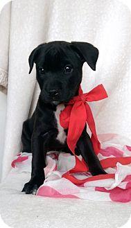Boxer/Labrador Retriever Mix Puppy for adoption in Newark, Delaware - Tilly