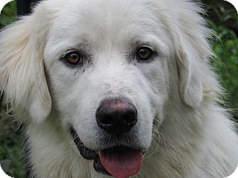 Great Pyrenees Dog for adoption in Kiowa, Oklahoma - Boomerang