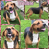 Treeing Walker Coonhound/Greyhound Mix Dog for adoption in Tomah, Wisconsin - Trouble