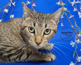Domestic Shorthair/Domestic Shorthair Mix Cat for adoption in Bastrop, Texas - Lyric