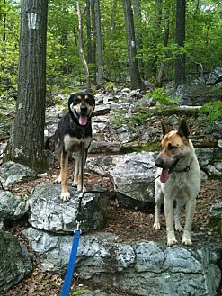 Australian Cattle Dog/Hound (Unknown Type) Mix Dog for adoption in Bushkill, Pennsylvania - Bridget and London