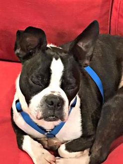 Boston Terrier Mix Dog for adoption in Greensboro, North Carolina - Pending Adoption BO-JACK