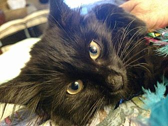 Domestic Longhair Cat for adoption in Toms River, New Jersey - Elizabeth
