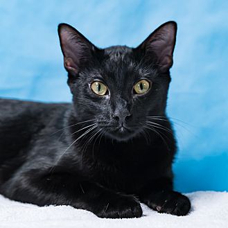 Domestic Shorthair Cat for adoption in Houston, Texas - Bee