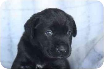 Labrador Retriever Mix Puppy for adoption in San Diego, California - Brie's Puppy - PIXIE