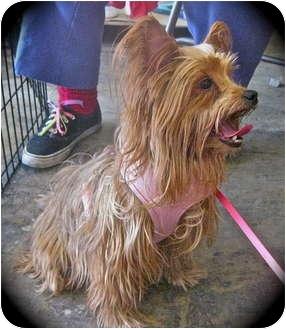 Yorkie, Yorkshire Terrier Dog for adoption in Encino, California - Mango