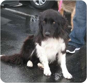 Border Collie/Australian Shepherd Mix Dog for adoption in Seattle, Washington - Tux