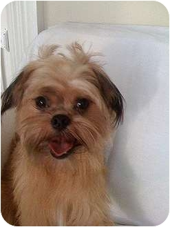 Brussels Griffon Puppy for adoption in Cumming, Georgia - CHARLIE in Savannah, GA
