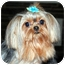 Photo 2 - Yorkie, Yorkshire Terrier Dog for adoption in Los Angeles, California - SEBASTIAN