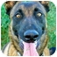 Photo 2 - Belgian Malinois Mix Dog for adoption in Patterson, California - PACO