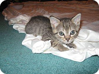 Domestic Shorthair Kitten for adoption in Trevose, Pennsylvania - Chipperie