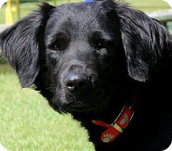 Labrador Retriever/Flat-Coated Retriever Mix Dog for adoption in Wakefield, Rhode Island - AXEL(ADORES CHILDREN!!)
