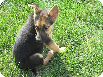 German Shepherd Dog Mix Puppy for adoption in Hainesville, Illinois - Ricky