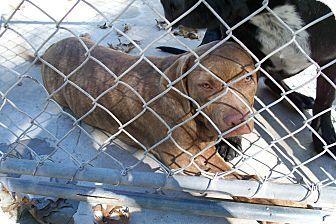 Boxer/Terrier (Unknown Type, Medium) Mix Puppy for adoption in manville, New Jersey - Izzy