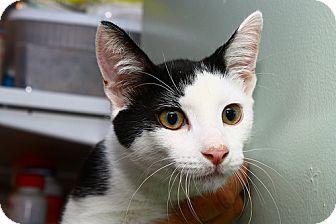 Domestic Shorthair Kitten for adoption in Lombard, Illinois - Half Face