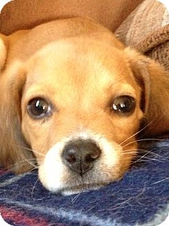 Beagle Mix Puppy for adoption in Richmond, Virginia - Meggie