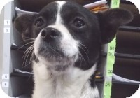 Chihuahua Mix Puppy for adoption in Kelseyville, California - Good n Plenty