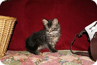 Domestic Longhair Kitten for adoption in Trevose, Pennsylvania - Bazinga