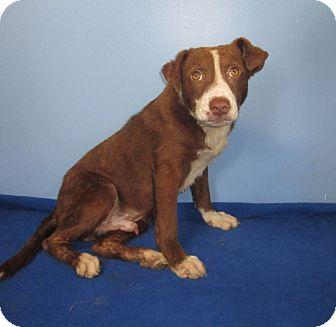 Border Collie/Labrador Retriever Mix Puppy for adoption in East Rockaway, New York - Jager