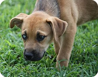Boxer/Husky Mix Puppy for adoption in Allentown, Pennsylvania - Houndini